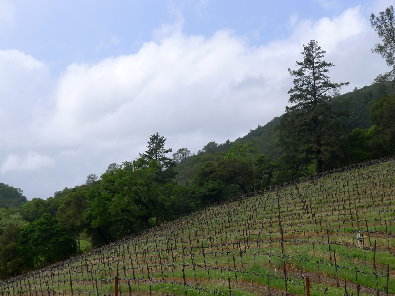 Sbragia Vineyard